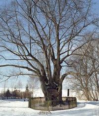 Památné stromy