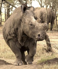 Strážcem nosorožců