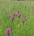 Orchidejové louky Staré Huti