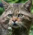 Kočka divoká na Doupovsku