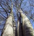 Památné stromy na Tachovsku