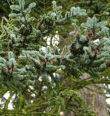 Památné stromy na Domažlicku
